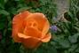 růže 33
