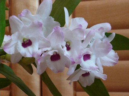 FOTKA - takto mi jde orchidejka,m�m ji jeden rok