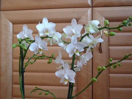 FOTKA - dnes jsem dostala orchidej k narozeninám od kamarádky