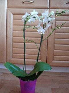FOTKA - orchidej od kamarádky