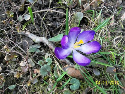 FOTKA - krokus v trávě