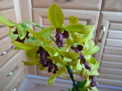 FOTKA - orchidej od mamky k narozeninám