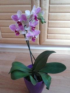 FOTKA - orchidej od švagrové k narozeninám