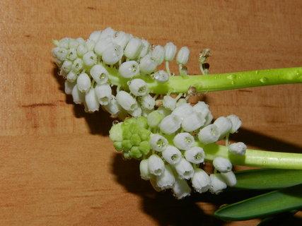 FOTKA - bílé modřence