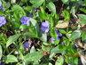Květy barvínku