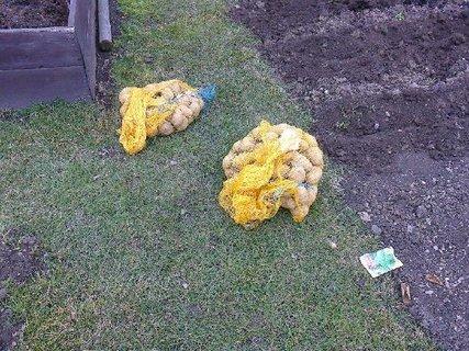 FOTKA - brambory před výsadbou