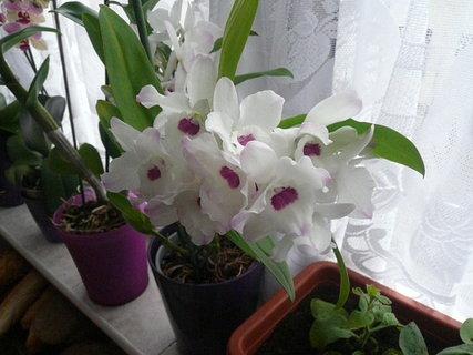 FOTKA - orchidej.,.