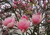 veliké květy Magnólie