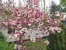 rozkvetlý strom magnolie,