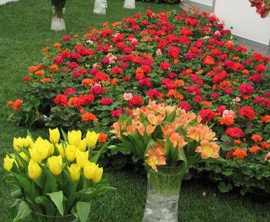 FOTKA - Jarní Flóra Olomouc - tulipány a muškáty