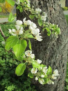 FOTKA - kvetoucí stromy 2