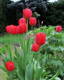 FOTKA - tulipány 3