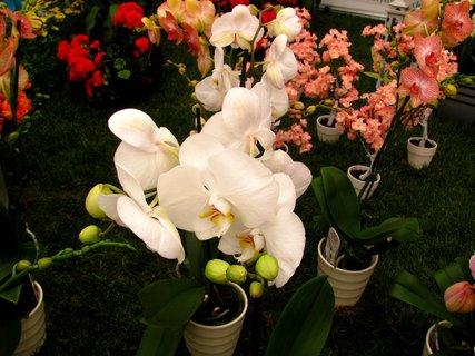 FOTKA - Jarní Flóra Olomouc 2013 - orchidej