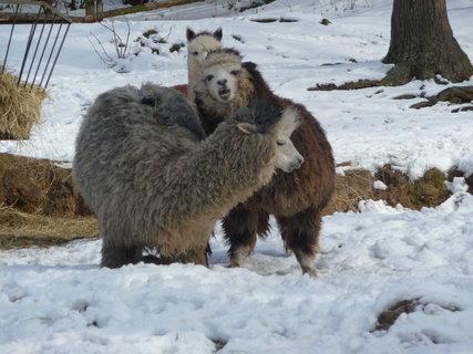 FOTKA - tulící se lamy...