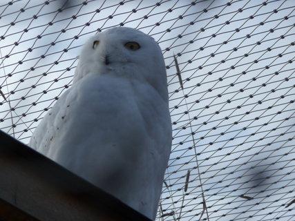 FOTKA - sova sněžná