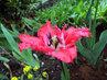 slunění tulipánu