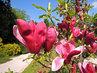 v Jiráskových sadech kvete několik druhů Magnolií