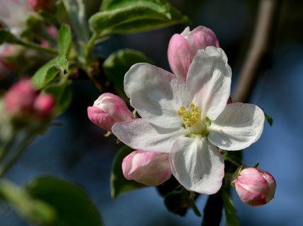 FOTKA - Jabloňový květ