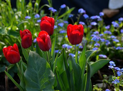 FOTKA - V pomněnovém koberci vystrkují hlavičky tulipány