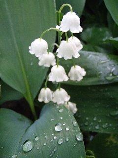 FOTKA - konvalinka po daždi
