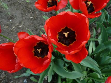 FOTKA - tulipány 8.5