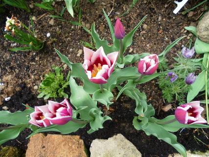 FOTKA - Tulipán fialový 2013