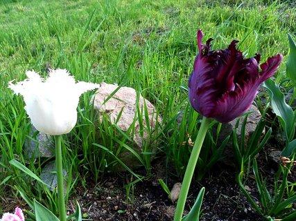 FOTKA - Tulipány - kontrast barev