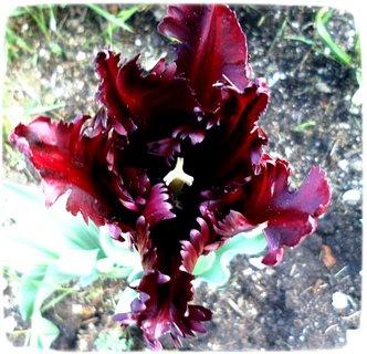 FOTKA - Tulipán, no není to exot ?