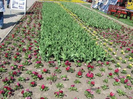 FOTKA - Jarní Flóra Olomouc 2013 - macešky a tulipány