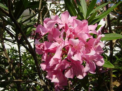 FOTKA - květy letních keřů 2