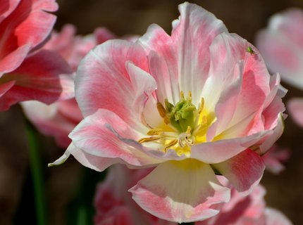 FOTKA - Na návštěvě v tulipánu