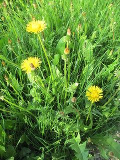FOTKA - pampelišky v trávě 3