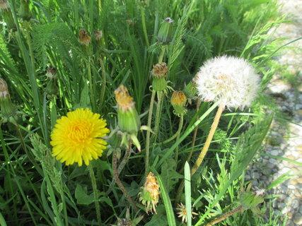 FOTKA - pampelišky v trávě 4