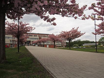 FOTKA -  růžová alej před fakultou