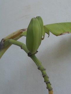 FOTKA - banány