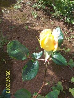 FOTKA - 7.5. růže ze Španělska