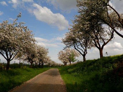 FOTKA - Silnice lemovaná jabloňovou vůní