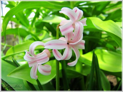 FOTKA - Detail bílorůžového hyacintu