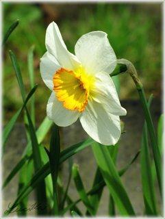 FOTKA - Květ narcisu