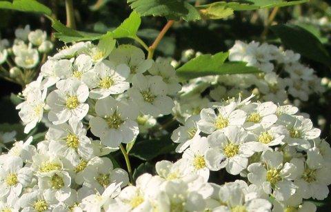 FOTKA - kvetoucí jarní keře