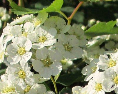 FOTKA - kvetoucí jarní keře 2