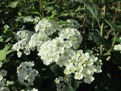 FOTKA - kvetoucí jarní keře 3