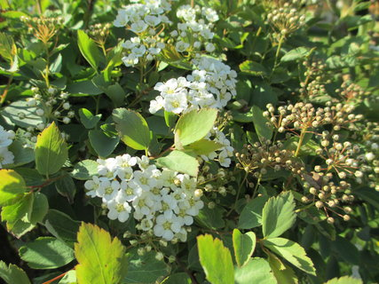 FOTKA - kvetoucí jarní keře 6