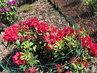 Červený kvete také