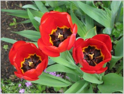 FOTKA - Tři červené květy tulipánů