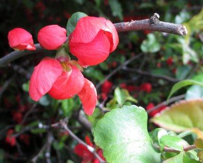 FOTKA - květy jarního keře 4