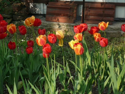 FOTKA - tulipany,