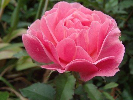 FOTKA - ružová ruža
