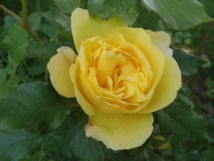 FOTKA - žltá ruža