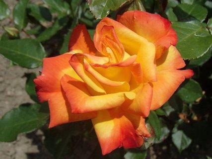 FOTKA - melírovaná ruža